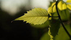 Trombitafolyondár / Campsis radicans / Trumpet vine (bencze82) Tags: garden secret trumpet vine f2 40mm voigtländer kert radicans aspherical ultron campsis trombitafolyondár sliin