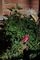 Fall flowers (III) (dididumm) Tags: pink flowers autumn fall leaves sunshine mushrooms leaf herbst blumen bowl blatt pilze bltter autumnal sonnenschein schale herbstlich upcycling burgfrieden