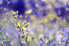 Spring madness (Paulina_77) Tags: blue sunlight blur color green nature colors beauty leaves yellow vintage lens botanical 50mm spring bush nikon colorful soft mood moody chaos colours dof purple bright blossom bokeh outdoor vibrant background magic creative dream mother vivid illuminated depthoffield mount madness ethereal m42 bloom buds dreamy shallow colourful elegant shrub pentacon f18 sunlit delicate dreamlike magical daydream depth springtime selective blooming 50mm18 springlike focusing 5018 d90 playoflight illimination bloomy pentacon50mmf18 bokehlicious pentacon50mm nikond90 pentacon50mm18 pola77