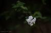 Out of Dark (Gabriel FW Koch) Tags: flowers white macro nature beautiful closeup canon garden dark outside eos backyard pretty shadows dof darkness zoom bokeh outdoor telephoto shady frail flowergarden whiteflowers