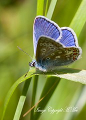 Blue.! (nondesigner59) Tags: nature closeup insect lepidoptera archives commonbluebutterfly eos50d nondesigner nd59 copyrightmmee