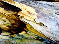 fallen maple (macro)       GR/bp  3/16 (Ma Wolff) Tags: wood color macro tree maple grain fallen fungus cyanic