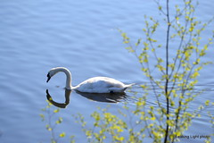 Swanning along (leaking_light) Tags: northbank manchestershipcanal irlam nikond3100