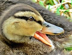 Another quack (dina j) Tags: bird duck florida wildlife duckling mallard floridawildlife babyduck floridabirds