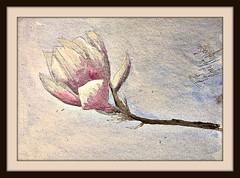 Magnolia (patrick.verstappen) Tags: flower art texture watercolor painting paper photo google nikon flickr belgium painted pat magnolia hdr fabriano textured picassa gingelom d7100 pinterest