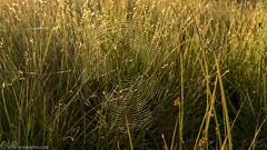 Spiderweb in morning dew (claudy75) Tags: morning summer spiders web spiderweb sunlit morningdew morningsun speargrass spiderwebdew dewonweb