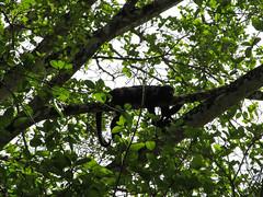 """Lamanai: dans cet arbre aussi, c'est l'heure de la sieste. Les fainéants ! ;) <a style=""""margin-left:10px; font-size:0.8em;"""" href=""""http://www.flickr.com/photos/127723101@N04/26078570245/"""" target=""""_blank"""">@flickr</a>"""