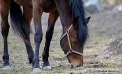 108 Hst Hjlstaviken 2016-04-02 (eolsson65) Tags: horse nature animal nikon outdoor natur tamron djur hst hjlstaviken tamron150600mm nikond750