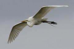 Great Egret in Flight 4-30-2016-1 (Scott Alan McClurg) Tags: life wild white bird nature animal back spring backyard wildlife neighborhood landing ardea land greategret naturephotography ardeidae aalba
