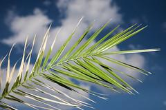 Wieder auf dem Balkon (Lens Daemmi) Tags: sky clouds leaf himmel wolken palm blatt palme britzergarten