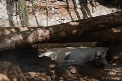 At Jungle Park (Fjola Dogg) Tags: vacation espaa holiday animal animals canon island zoo spain europe lion bigcat tenerife evropa pantheraleo dr junglepark ljn evrpa fjoladogg fjladgg canonpowershotg7x canong7x