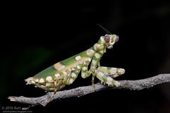 Theopropus elegans_MG_0945 copy (Kurt (OrionHerpAdventure.com)) Tags: mantis mantid theopropuselegans bandedflowermantis mantidsofmalaysia