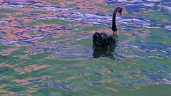 H30 Black Swan (maginoz1) Tags: autumn abstract art canon australia melbourne victoria blackswan albertpark manipulate surrea waterl g3x april2016