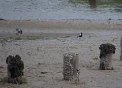 Shorebirds at Blackie Spit (Neal D) Tags: bc surrey crescentbeach shorebird blackbelliedplover blackiespit