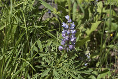 """Lupine • <a style=""""font-size:0.8em;"""" href=""""http://www.flickr.com/photos/63501323@N07/26402021750/"""" target=""""_blank"""">View on Flickr</a>"""