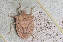 White stink bug (9/10) - Degonetus serratus - Full Adult (arian.suresh) Tags: india bug stinkbug animalia arthropoda andhrapradesh insecta hemiptera hexapoda pterygota heteroptera pentatomidae neoptera nellore whitebug tectonagrandis pentatomomorpha pentatomoidea pentatominae condylognatha skanfarmhouse degonetusserratus ariansuresh 750d2016img5123 whitestinkbug whitepentatomidae degonetini tectonastinkbug teakstinkbug teakwhitestinkbug