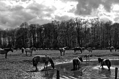 Wild Horses in black-and-white - Bathing - 2016-027_Web (berni.radke) Tags: horse pony bathing herd nordrheinwestfalen colt wildhorses foal fohlen croy herde dlmen feralhorses wildpferdebahn merfelderbruch merfeld przewalskipferd wildpferde dlmenerwildpferd equusferus dlmenerpferd dlmenpony herzogvoncroy wildhorsetrack