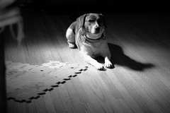 Fuji xf 60mm f2.4 (KaLiMaN BoKeH) Tags: bw dog pet macro beagle monochrome fujifilm beaglemix fujix mirrorless fujixf60mmf24 fujixe2
