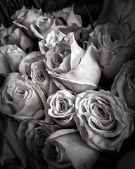Roses (Francesc Reina / freina) Tags: roses bw black square rosa bn squareformat wait ros rosas blanc negre santjordi freina iphoneography instagramapp uploaded:by=instagram francescreina