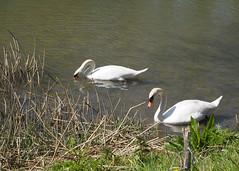 P4200144_bewerkt-1 (Nico Looijen) Tags: swan swans spui zwaan zwanen oudbeijerland