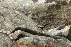 Ring Ouzel (Explored!) (Dartmoor Mike) Tags: bird birds ring devon dartmoor ouzel