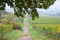 Pfalz (Uwe Brandt) Tags: natur landschaft pfalz weinberg ludwigshhe