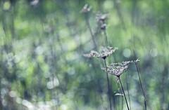 Die Blumen vom Vorjahr sind wohl gebter beim Posieren. Mir macht es sowieso nichts, wenn sie sich ins Bild drngen. (Manuela Salzinger) Tags: light sun flower licht spring meadow wiese colourful blume sonne bunt frhling