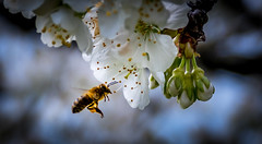 Bee on cherry blossom (Jean-Luc Peluchon) Tags: france flower macro nature fleur bee cherrytree abeille cerisier fz1000