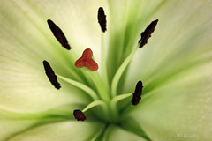 Lily (VenturaMermaid) Tags: white flower macro green closeup photo dof lily blossom 100mm f90 stamen bloom botanic canoneos stigma filament flowerphotography tepal