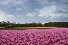 Little house in the field.... (crispin52) Tags: flowers nature landscape tulips layers pinknikon