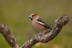 Honored Guest (Luis-Gaspar) Tags: bird portugal animal nikon iso400 finch ave f56 passaro d60 castelodevide 1640 hawfinch coccothraustescoccothraustes 55300 bicogrossudo
