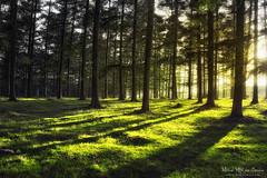 El bosque luminoso (Mimadeo) Tags: trees light sunset shadow summer sun sunlight green grass backlight forest sunrise sunny pines backlit trunks larch sunray treewood