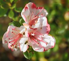 Azalea: 28.4.16. (VolVal) Tags: garden dorset april azalea shrub bournemouth boscombe