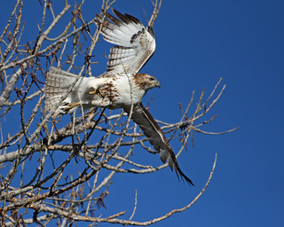 Red Tailed Hawk 8536