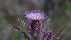 Thistle Flower (bamboosage) Tags: auto 14 m42 55 preset mamiyasekor