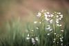 Flowers in the wind (janetfrerichs) Tags: flower green closeup bug 50mm nikon wind bokeh outdoor walk pflanze lila photowalk mauve gras grün fullframe blume käfer wegesrand schärfentiefe frail bewegungsunschärfe blurring d610 unschärfe verwacklung fotospaziergang zartlila