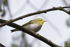 Wood Warbler (Kentish Plumber) Tags: uk bird nature kent europe wildlife southeast sevenoaks warbler birdwatcher southernengland weald woodwarbler phylloscopussibilatrix nbw bwg birdwatchinggroup