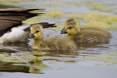 Canada Goslings 4-30-2016-5 (Scott Alan McClurg) Tags: life wild baby canada bird nature water animal swimming swim geese spring woods wildlife goose neighborhood wetlands suburbs gosling gliding waterfowl canadagoose canadageese waterbirds naturephotography glide branta anserinae anserini bcanadensis babygosling