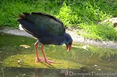 purperkoet - Porphyrio porphyrio - Purple Swamphen (MrTDiddy) Tags: bird purple planckendael vogel dierenpark swamphen purper porphyrio koet purperkoet dierenparkplanckendael