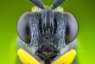 Portrait of a Chalcid Wasp