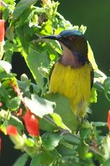Sun bird (Lim SK) Tags: