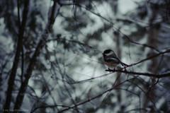 Be Not Afraid... (mc_icedog) Tags: morning trees winter snow canada blur cold bird colors sunrise landscape outdoors early bush winnipeg alone branch bokeh wildlife manitoba serene shallow mb shrubs luminous depth buttery