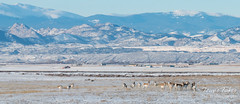 January 12, 2016 - Pronghorn graze on the plains in Larimer County. (Tony's Takes)