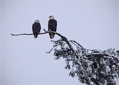 eagles and snow (marneejill) Tags: snow tree creek french couple bc adult eagle pair bald vancouverisland snowing