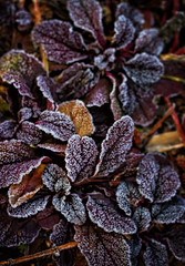 Iced Chocolate (Colormaniac too (Back & SLOWLY catching up)) Tags: winter texture leaves garden botanical washington frost state pacific northwest chocolate burgundy ground sequim foliage collection cover nik iced olympic cocoa filters peninsula frosted ajuga flypaper reptans
