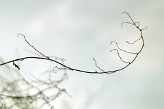 Rankend (gripspix (OFF)) Tags: plant abstract texture silhouette pflanze twig shrub strauch abstrakt silouettes textur badlens ranke schlingknterich 20160206 fleecewine