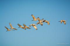 Sandhill Cranes (halladaybill) Tags: flight migration airborn saltonsea sandhillcrane shorebirds seaandsageaudubonsociety sonnybonosaltonseanationalwildliferefugeca