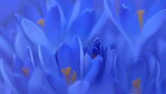 The Shy One (charhedman) Tags: flowers blue macro yellow spring crocuses