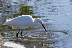 Snowy Egret Fishing in Shoreline Lake (donjd2) Tags: water shorelinepark lake snowyegret fishing paloalto california unitedstates us nature