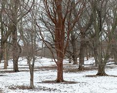 Acer griseum (Plant Image Library) Tags: trees winter plants plant ecology maple massachusetts profile january newengland mature acer deciduous botany phenology paperbark griseum arboldarboretum